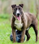 Bulley (Hilbrae Rescue Kennels, Shropshire)