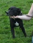 Prince (Doris Banham Dog Rescue, kennelled Notts)