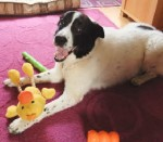 Cuddly Rocco and his toys! (Oldies Club, fostered Derbyshire)