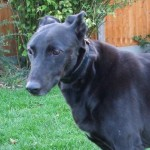 Fabulous Frieda (Oldies Club, fostered Somerset)