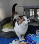 Cleo (National Cat Adoption Centre, Sussex)