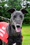 Danny (Greyhound Awareness League, Glasgow)
