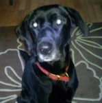 Benson (Dunroamin K9 Rescue, fostered South Yorkshire)
