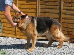 Kobi (Devon GSD Rescue, kennelled Cornwall)