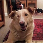 Maya (Blind Dog Rescue UK, fostered London)