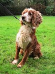 Ernie (Working Cocker Spaniel Rescue, fostered Somerset)
