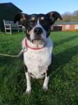 Daphne (Dogs Trust, Evesham)