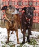 Rocky and Gizmo (Chilterns Dog Rescue Society, Herts)
