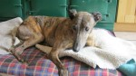 Boyo (Greyhound Rescue Wales, Llanelli)