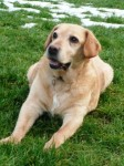 Jesse (Labrador Rescue South East and Central, fostered Kent)