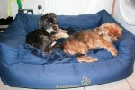Mac & Teddy (Pro Dogs Direct, fostered Rainham, Essex)