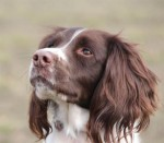 Baxter (South Yorkshire English Springer Spaniel Rescue, Sheffield area)