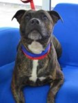 Tia (Battersea Dogs and Cats Home, London)