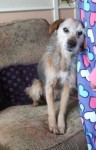 Cara (Hope Rescue, fostered Caerphilly)