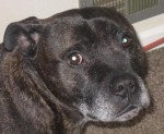 Josh-Hector (Senior Staffy Club, fostered Burnley)