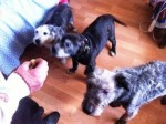 Pippin, Delta and Monty (Birch Hill Dog Rescue, Shropshire)