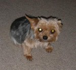 Gracie Yorkie (Oldies Club, fostered Derbyshire)