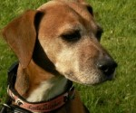 Harry (Phoenix Dog Rescue, Warrington)