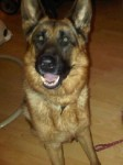 Jake (Second Chances German Shepherd Rescue, West Lothian)