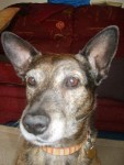 Spirited Schmirny Ballboy (Oldies Club, fostered County Durham)