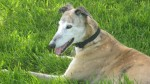 Audrey (Greyhound Rescue Wales, Llanelli)
