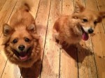 Dolcie and Roxy (Rovers Dog Rescue, Essex)