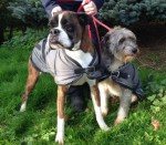 Percy and Holly (Home Counties Boxer Welfare, South East)