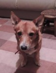 Cute Foxy Jasper (Oldies Club, fostered Manchester)