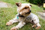 Cuddlesome Toby Yorkie (Oldies Club, fostered Essex)