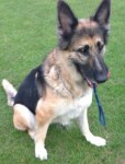 Lucky (Cefni German Shepherd Rescue, fostered Kent)