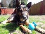Wolfie (German Shepherd Rescue South, fostered Hampshire)