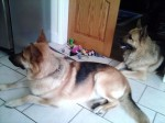 Tango and Fuss (German Shepherd Rescue Elite, Coventry)