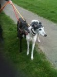Zeta and Ally (Romford Greyhound Rehoming, Essex)