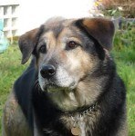Magical Molly Appenzeller (Oldies Club, fostered Wiltshire)