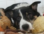 Zorro (Dogs Trust, West Calder)