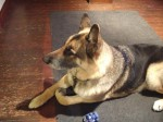 Alfie (CEFNI German Shepherd Rescue, currently in Surrey)