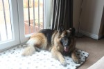 Kaine (CEFNI German Shepherd Rescue, currently in South Yorks)