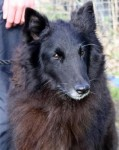 Beauty (Belgian Shepherd Dog Rescue, South Lincs)