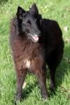 Beauty (Belgian Shepherd Dog Rescue, Sth Lincs)