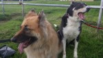 Cassie and Tilly (UK German Shepherd Rescue, fostered South Wales)