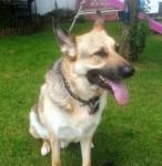 Mackenzie (Cefni German Shepherd Rescue, Nottinghamshire)