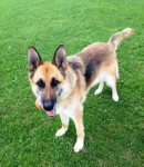 Sabrina (UK German Shepherd Rescue, fostered Cheshire)