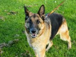 Zeta (UK German Shepherd Rescue, fostered Derbyshire)