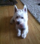 Little Daisy Westie (Oldies Club, fostered Essex)