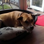 Jude (Wagtails Dog Rescue, Essex)
