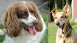 Poppy and Fred (South Yorkshire English Springer Spaniel Rescue)