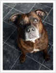Tyson (Wagtails Dog Rescue, at home in Essex)