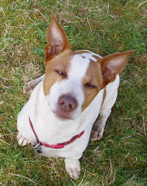 Oldies Club, sponsor dog, dog rescue, JRT, Jack Russell