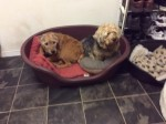 Ada and Alfie (Friends of the Animals RCT, fostered Staffs.)