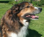 Happy, handsome Ben! (Oldies Club, fostered Gloucestershire)